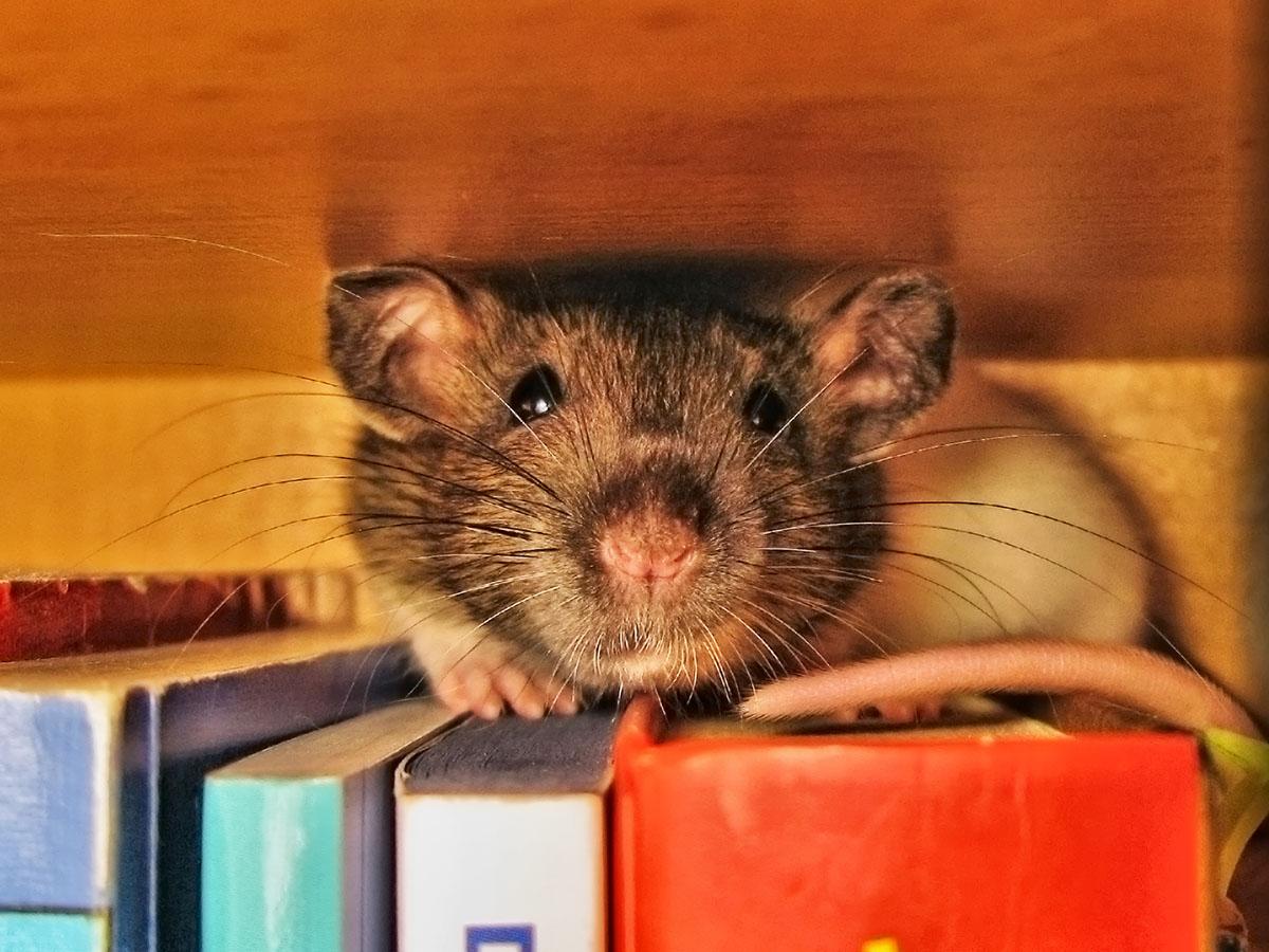 Rata de biblioteca! es hora de #RuletaRusa